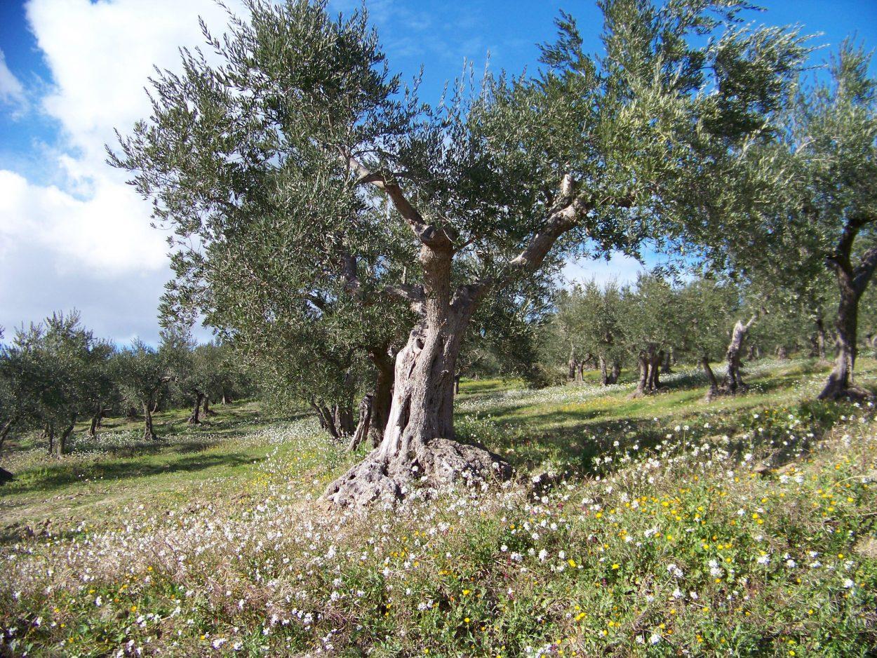 Alerta ante el 'ébola del olivo'