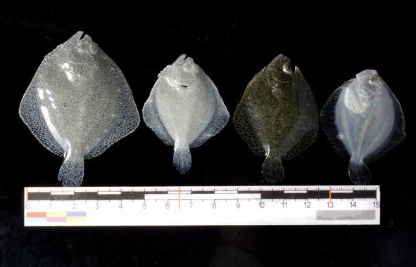 El rodaballo, primer vertebrado secuenciado en España