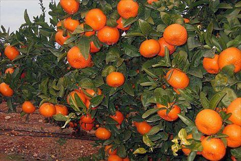 LA UNIÓ denuncia posibles problemas por una nueva concesión de licencias de la variedad polinizante de mandarinas Nadorcott
