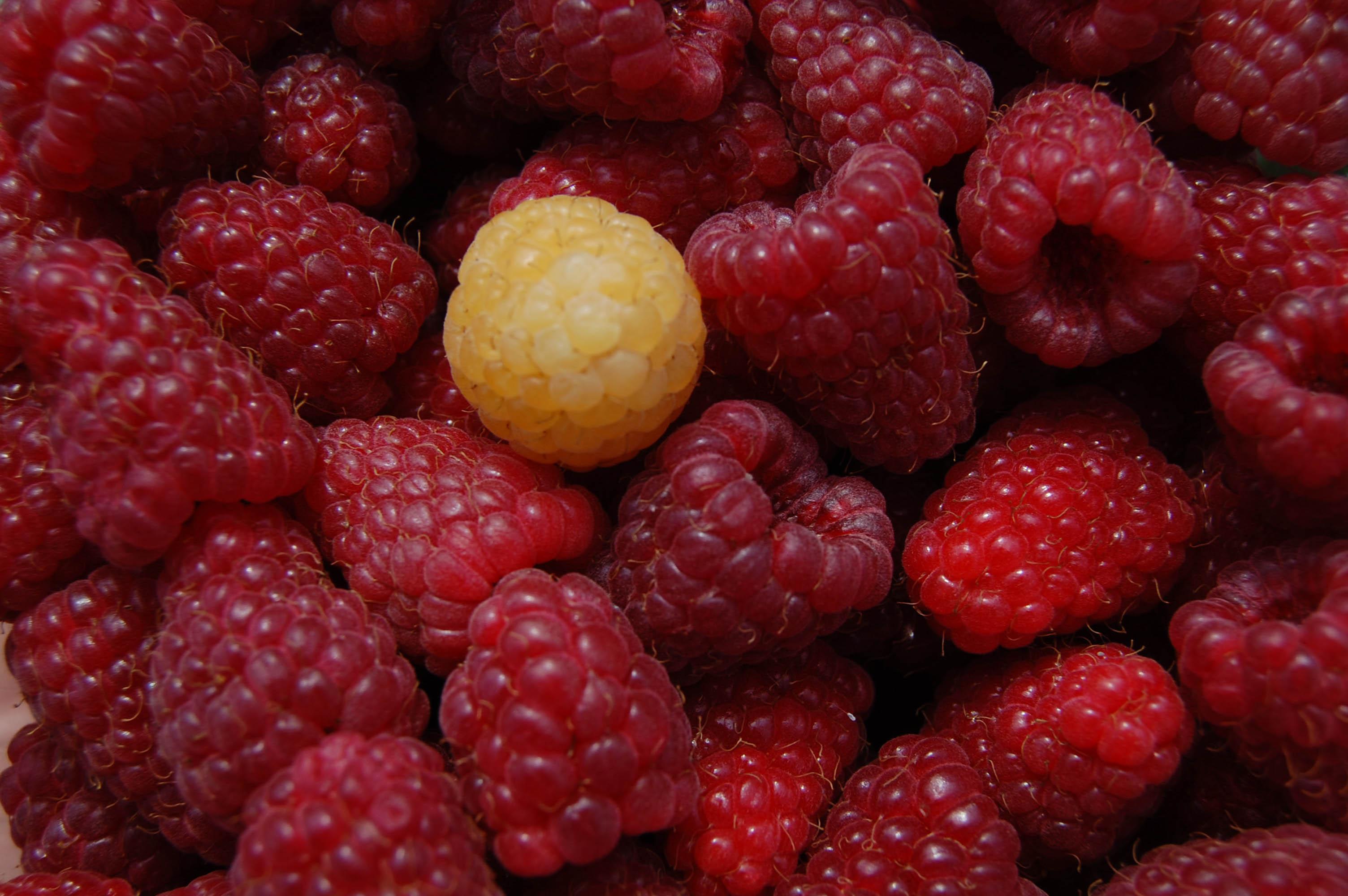 Analizan cómo el organismo transforma los micronutrientes de las frambuesas en moléculas beneficiosas para la salud