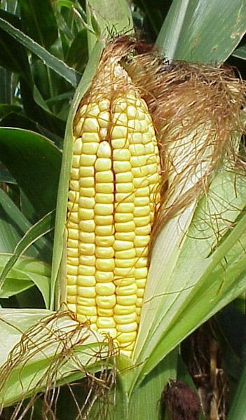 Compuestos de plantas nativas como insecticidas contra las plagas del maíz