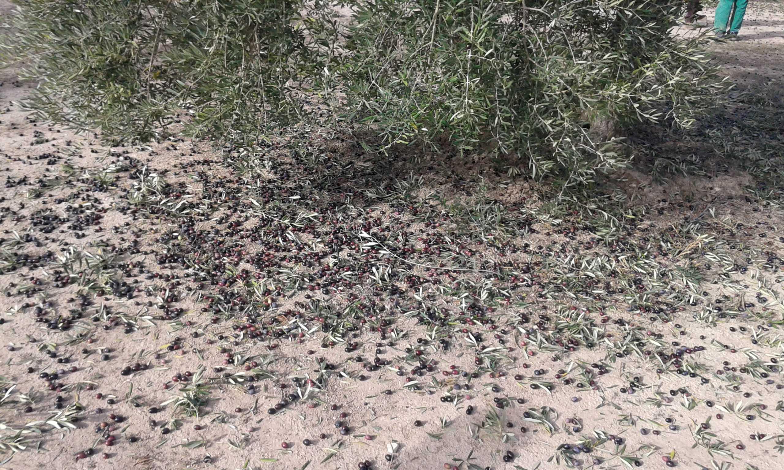 La separación de aceitunas del árbol y del suelo mejora la calidad de aceite de oliva virgen