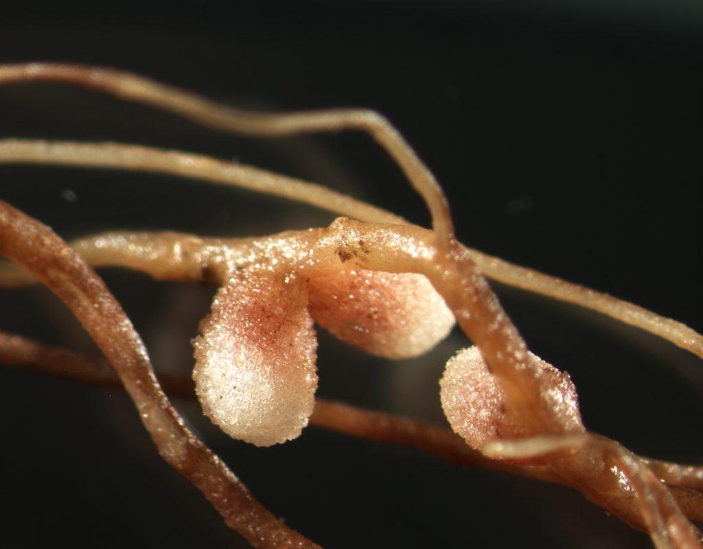 Formación nodular creada por la bacteria en las raíces de la veza cómo consecuencia de la relación positiva que se da entre la planta y el microorganismo