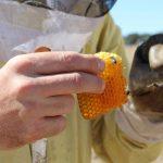 Una investigación abre la puerta al uso de hongos contra los ácaros que amenazan a las abejas