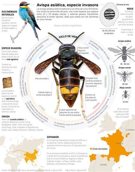 Avispa asiática, especie invasora