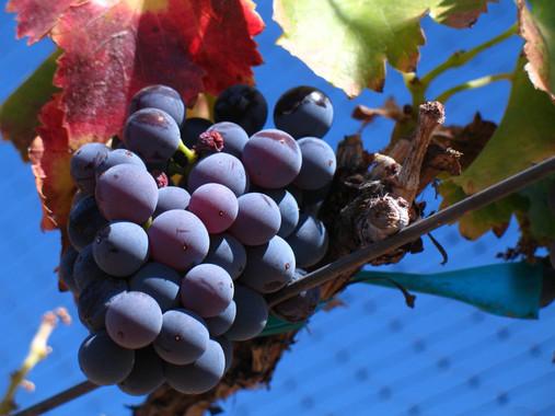 Las bacterias de la uva y del vino, al descubierto por su ADN