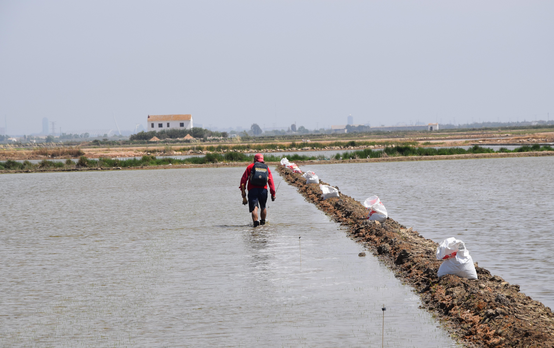 Agricultura ayuda a los arroceros a proteger del cucat sus cultivos con un método respetuoso con el medio ambiente