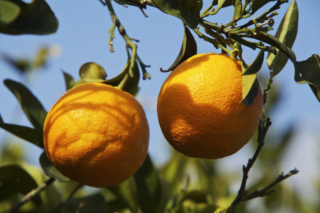 24/Febrero/2014 Islas Baleares. Ibiza Naranjos. Investigadores valencianos obtienen naranjas más ricas en antioxidantes Instituto de Agroquímica y Tecnología de Alimentos (IATA) © JOAN COSTA / CSIC
