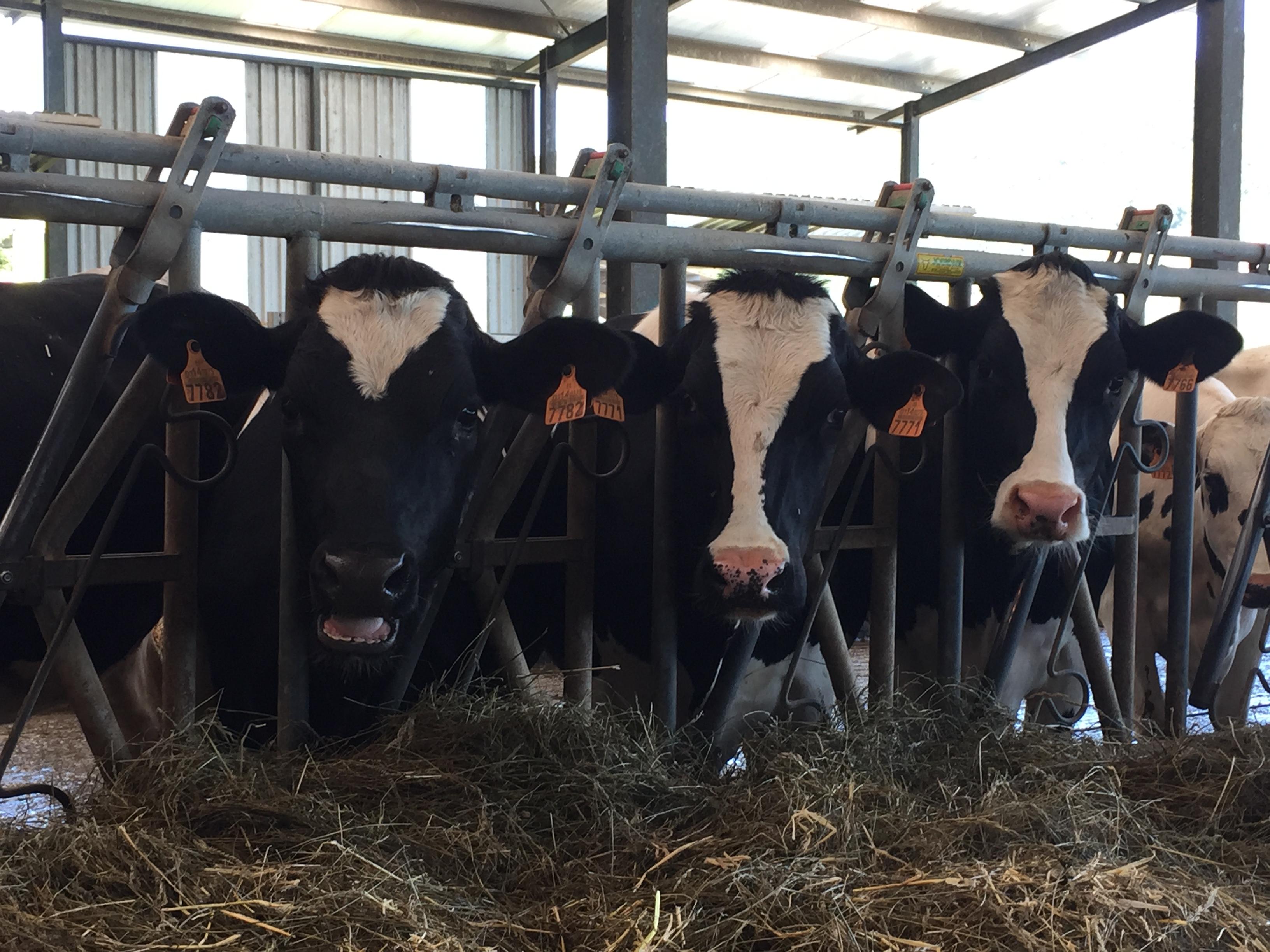 Investigadores desarrollan un tipo de leche más sana