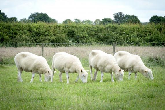 Estos-cuatro-clones-de-Dolly-crecen-como-ovejas-sanas-y-fuertes_image_380