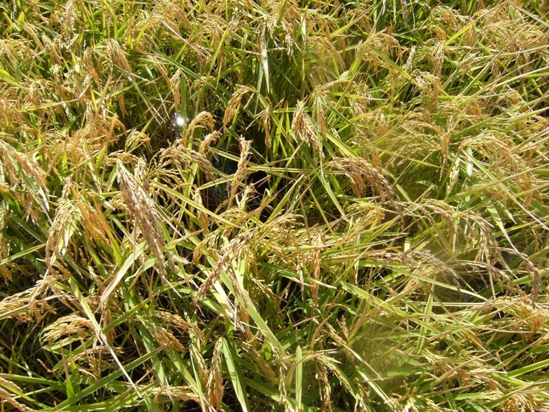 La UE pretende prohibir el Triciclazol que combateel hongo de la Pyricularia que causa estragos en los arrozales