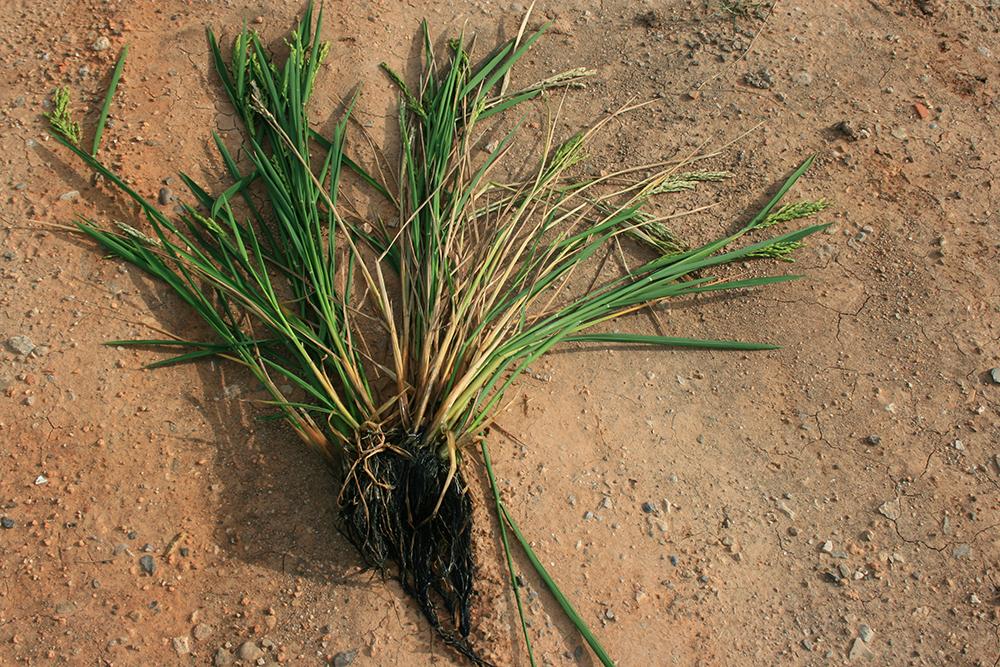 Esclerotinia arroz2