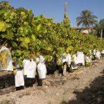 La producción de uva de mesa baja hasta los 80 millones de kilos aunque aumenta la protegida por DO