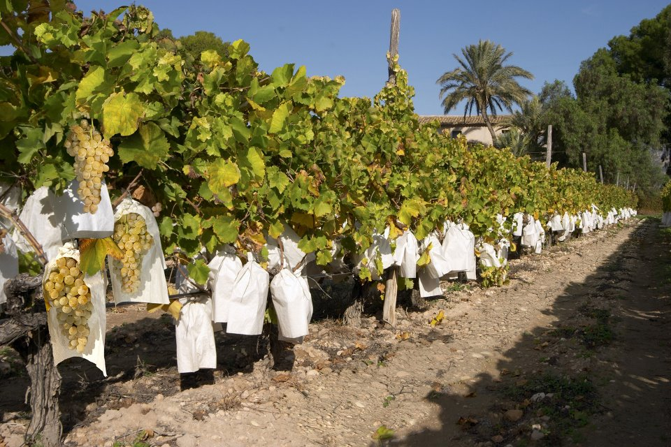 La Unió de Llauradors pide al Gobierno que no limite la plantación de viñedo para la DO Cava