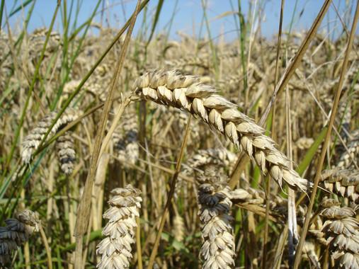 Nuevos cultivos de trigo como alternativa a la dieta sin gluten