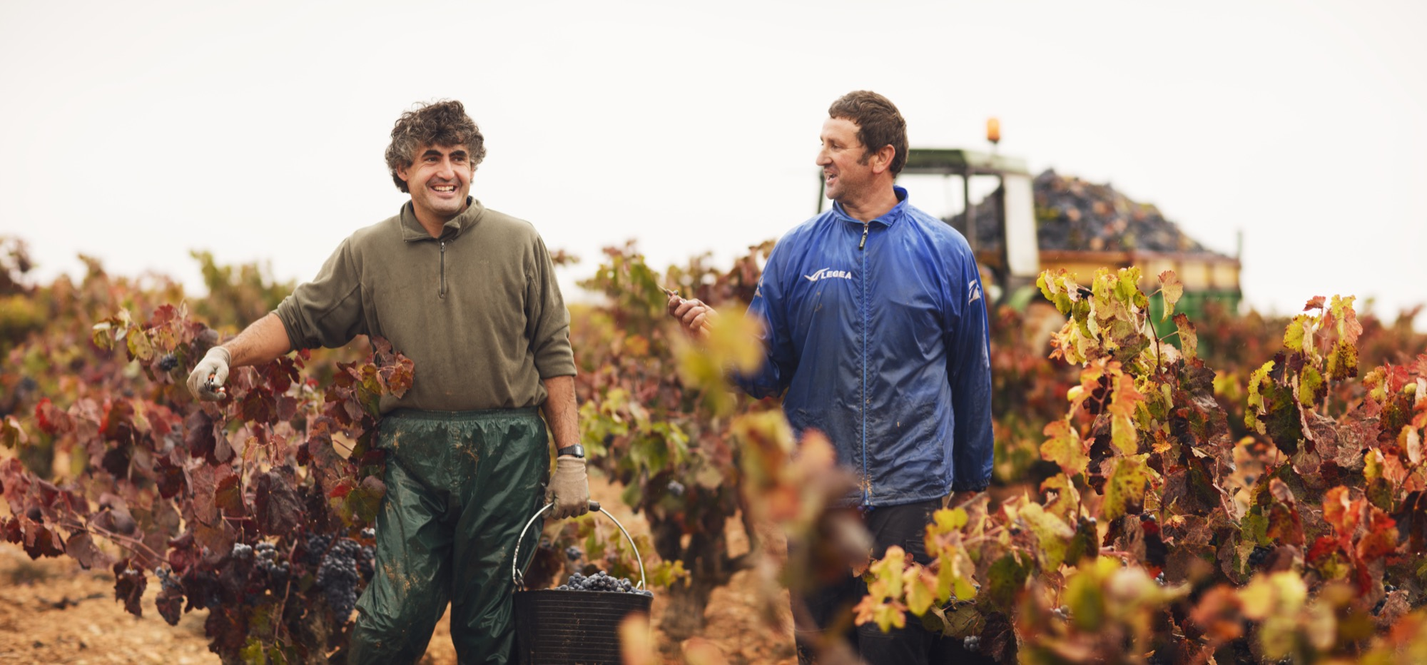 Utiel-Requena recolecta 219 millones de kg de uva