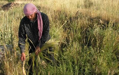 Los orígenes de la agricultura Los sirios del Neolítico fueron los primeros en domesticar los cereales