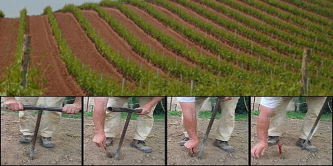 Los viticultores de Utiel-Requena replantarán más de 700 hectáreas de viña este año