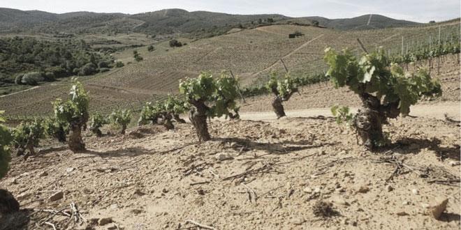 Los viticultores denuncian la pérdida del 80 % del viñedo viejo