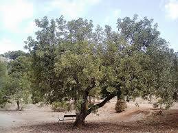 El algarrobo, cultivo autóctono y en vías de extinción