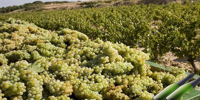 La vendimia de las variedades de uvas para cavas viene adelantada