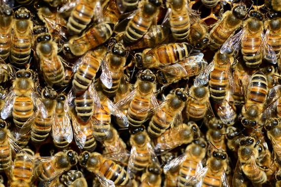 Las abejas de la miel compiten con las salvajes por el mismo hábitat