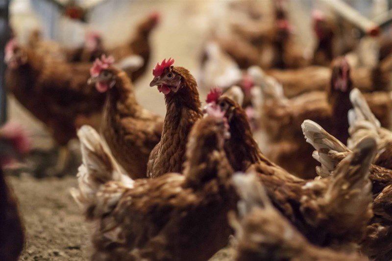 Huevos Guillén produce para Mercadona sus primeros huevos libres de jaula