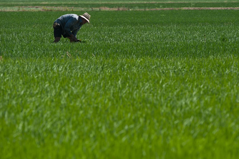 Las importaciones de arroz de Camboya y Birmania ponen en riesgo al valenciano