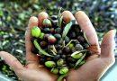 España mantiene que las ayudas a la aceituna negra son compatibles con los criterios de la OMC