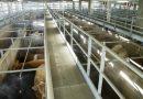 Mercavalència obtiene de AENOR el certificado de Bienestar Animal y mantiene la certificación de matadero ecológico