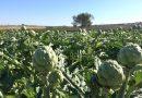 El cambio climático y la sequía afectan un año más a la calidad de las aguas y a la producción de la alcachofa