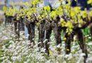 El Gobierno central mantiene las restricciones a la extensión del cultivo de cava valenciano