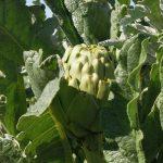 La alcachofa puede ayudar a prevenir la aparición de melanomas en verano