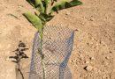 La sequía y los incendios agravan los daños que ocasiona la fauna salvaje en la agricultura valenciana
