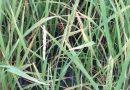 Los ataques de hongos se disparan por la humedad y causan mermas de hasta el 80% en el arroz Bomba