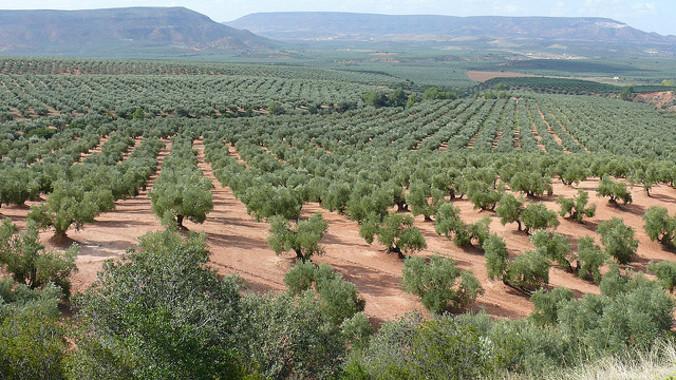 Predecir el comportamiento del cultivo del olivo ante el cambio climático
