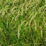 Las plantas de arroz en simbiosis con un hongo se vuelven más resistentes