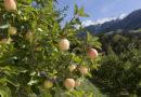 A pesar de la llegada de nuevas variedades, la Golden Delicious sigue reinando entre las manzanas