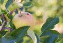 Mariquitas y manzanas, una alianza extraordinaria