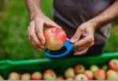 Naturaleza, técnica y tecnología se unen en el camino de una manzana desde el árbol a la despensa