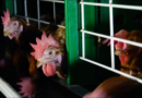El número de gallinas enjauladas en España desciende