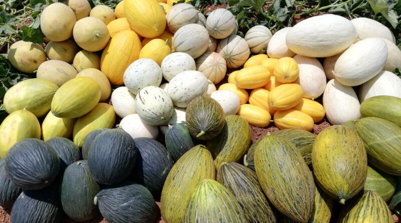 Cajamar presenta los resultados de 250 variedades hortofrutícolas