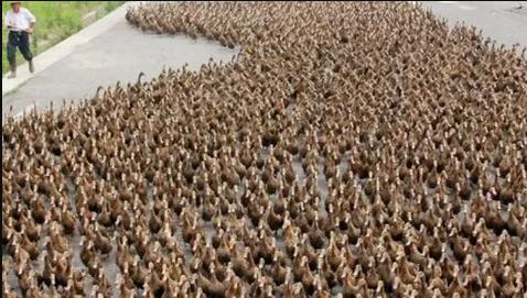 Un Ejército de patos, el arma de destrucción de las plagas del arroz