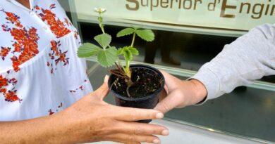 Vigilantes del aire: estudiantes valencianos participan en un estudio para medir su calidad con plantas de fresas