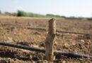La Diputación amplía la subvención a la Denominación de Origen Protegida Alcachofa de Benicarló hasta los 57.000 euros para que se puedan sustituir las plantaciones enfermas